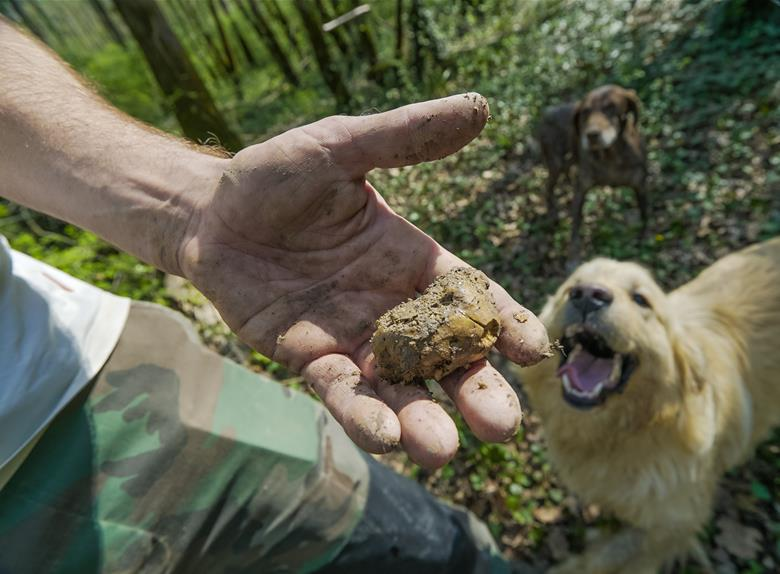 Caça a trufas Food Safari Eslovênia